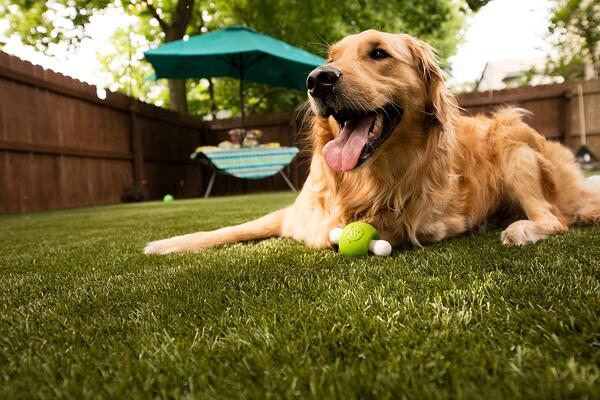 Golden Retriever on artificial turf with Envirofill