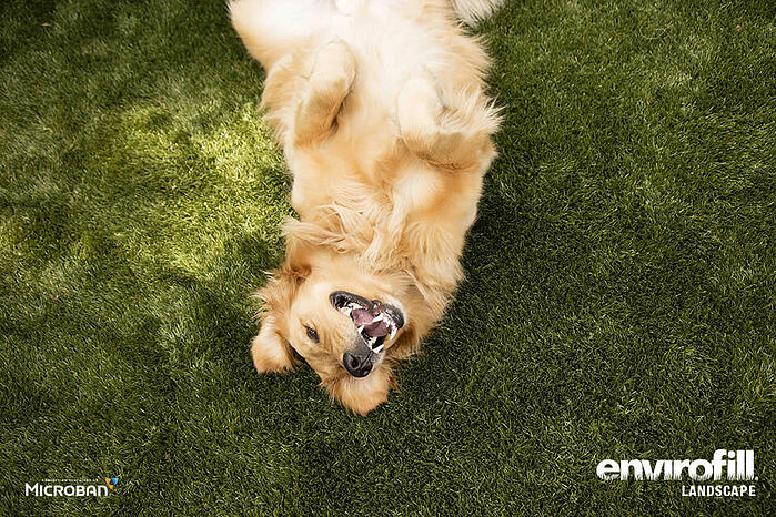Golden Retriever laying in grass smiling